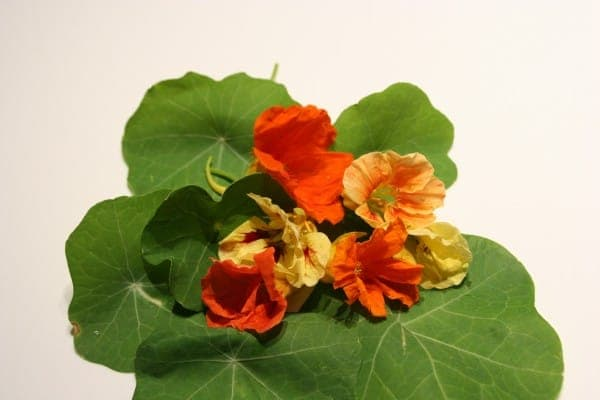 Nasturtiums and Their Lemony Leaves