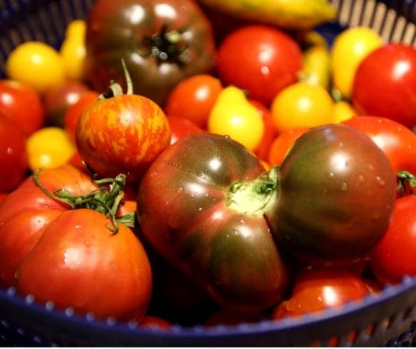 Assorted tomatoes for Tomato Jam #tomatoes #seasonal #garden