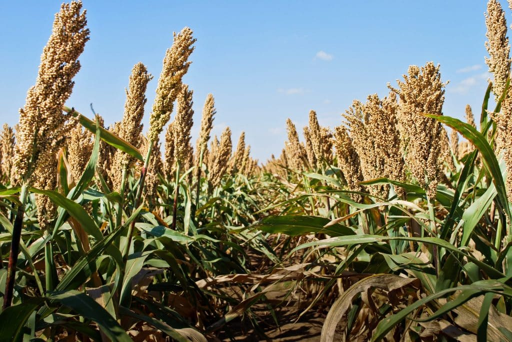 Sustainable sorghum in the field