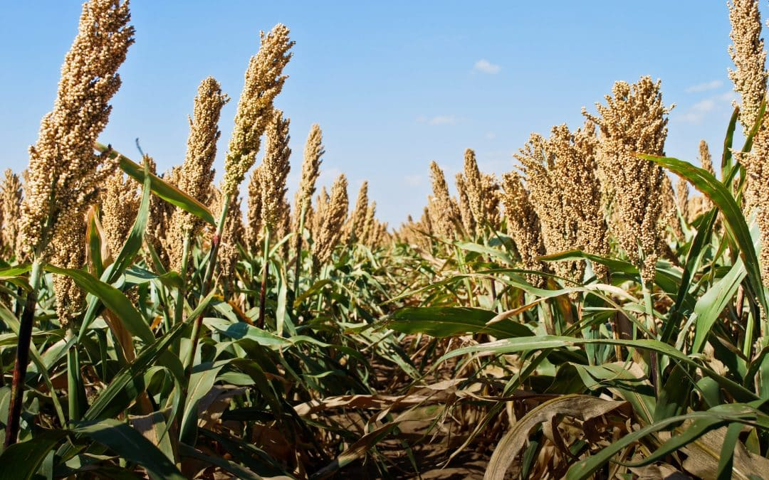 Start Seeing Sorghum, Try It For Whole Grains Month