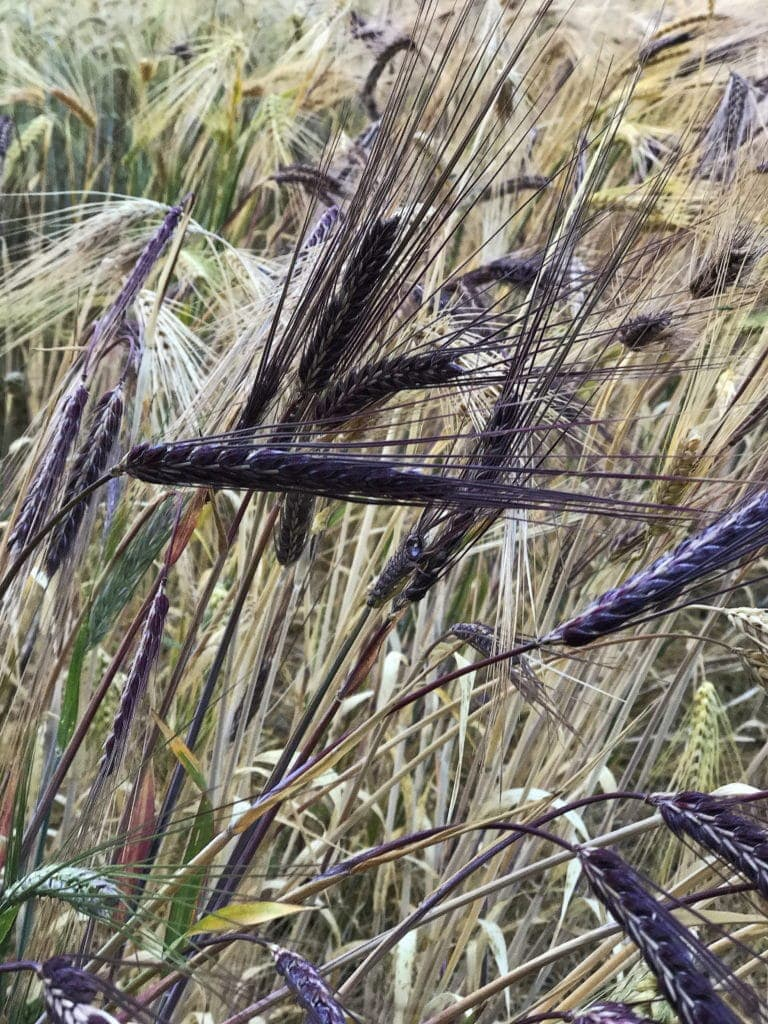 Purple Tibetan Barley Plants at the Grain Gathering 2017